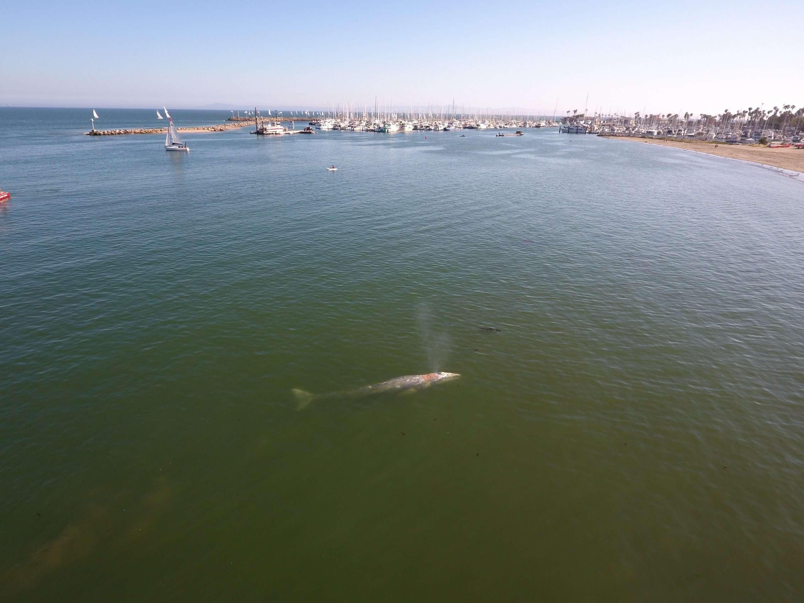 Whale off the Coast of Santa Barbara